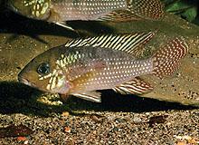 Картинки по запросу Geophagus itapicuruensis