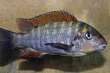Картинки по запросу Petrochromis macrognathus 'Ulwile'